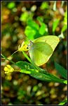 Title: Butterfly on Mustard plant
