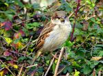 Title: Common Sparrow...