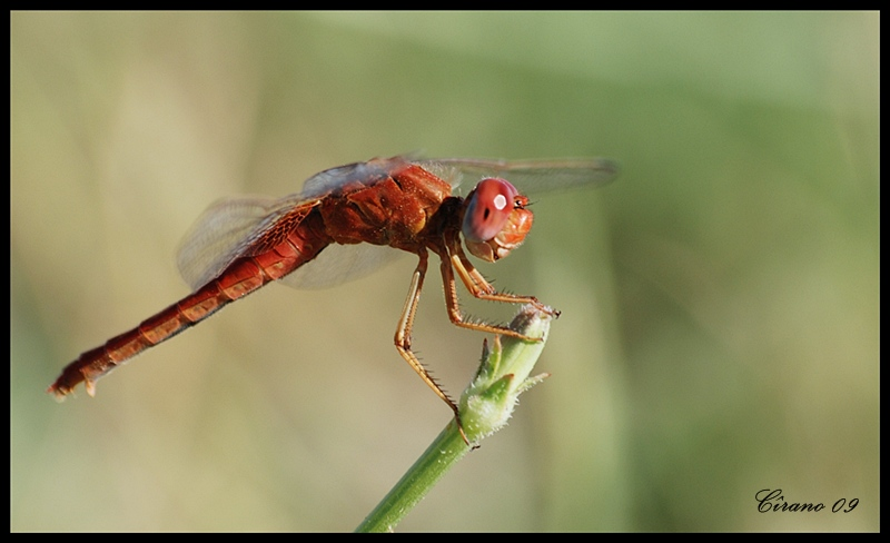Crocothemis erythraea(female)