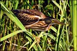 Title: Little bittern