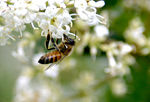 Title: Bee and Ligustrum