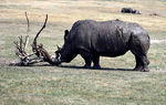 Title: Rhino and Scratching Post