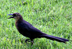 Title: Rice Grackle