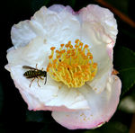 Title: Yellowjacket and Camelia