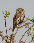 Title: Pearl spotted owl
