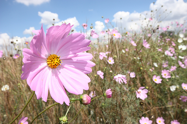 Cosmos wildflowers