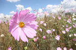 Title: Cosmos wildflowers