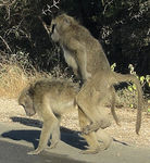 Title: Baboons mating