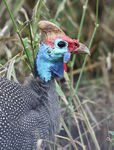 Title: Helmeted Guineafowl