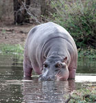 Title: Hippo