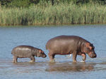 Title: Hippo - walking on water