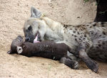Title: Hyena with pup