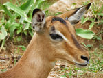 Title: Young impala