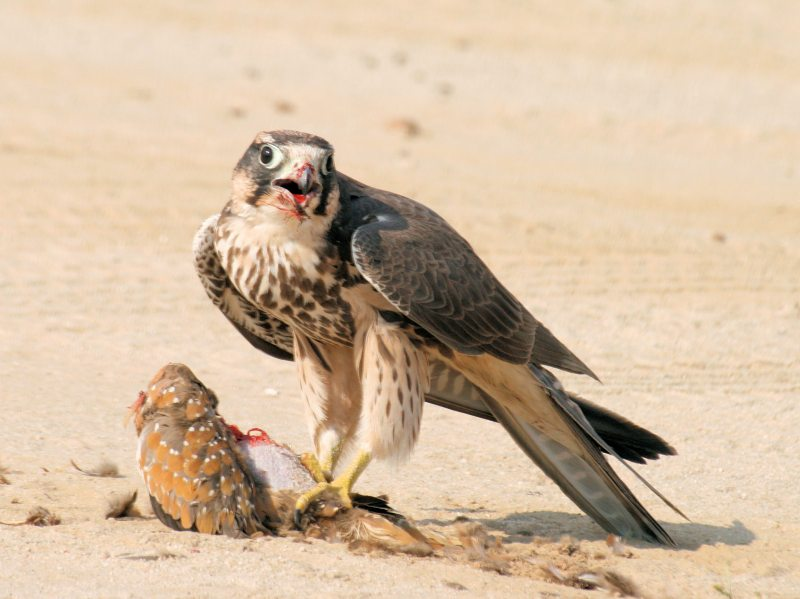 Lanner with prey