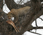 Title: Leopard with kill