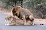 Title: Lions mating