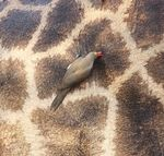 Title: Red-billed oxpecker