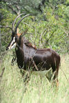 Title: Sable antelope