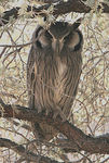 Title: Southern white faced owl