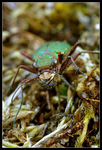 Title: Tiger beetle up close