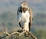Title: African Martial Eagle