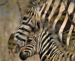 Title: Zebra and calf