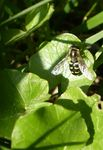 Title: Syrphid fly..?