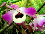 Title: orchid from sikkim