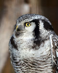 Title: Northern hawk-owl