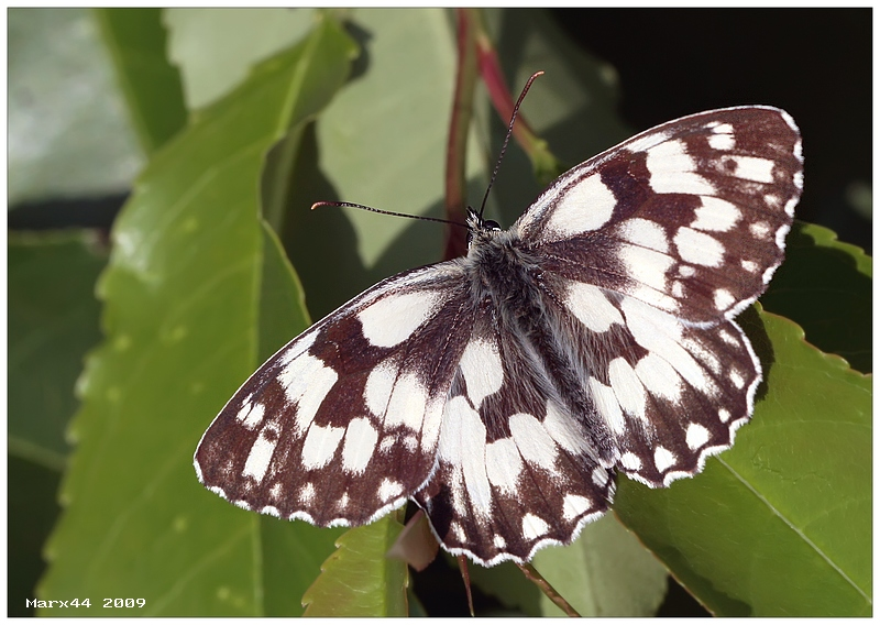 Marbled White - open wings