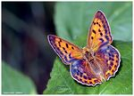 Title: Scarce copper -  Lycaena virgaureaeCanon EOS 30 D