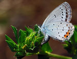 Title: Short-tailed Blue