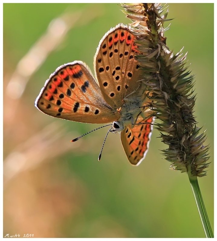 Sooty copper - Lycaena tityrus