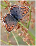 Title: Sooty copper - Lycaena tityrus