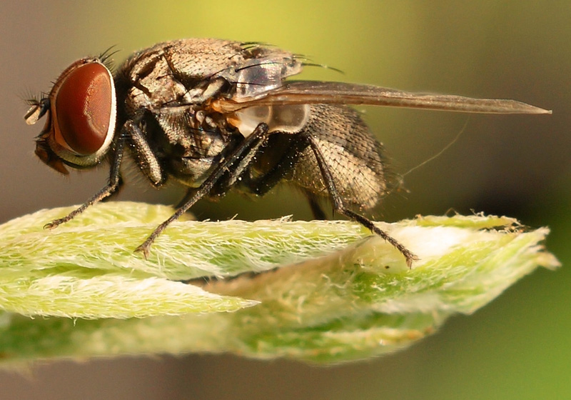 Common Indian fly