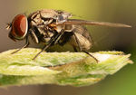 Title: Common Indian fly