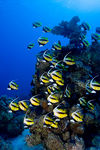 Title: Red Sea Bannerfish