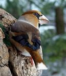 Title: Hawfinches
