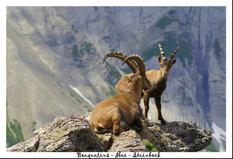 Ibex : King of the alps