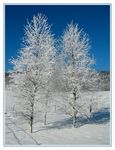 Title: The 2 frozen birch