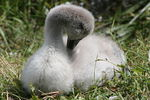 Title: a cute baby swan