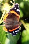 Title: RED ADMIRAL BUTTERFLY