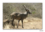 Title: Greater Kudu