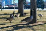 Title: Geese at Reno