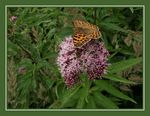 Title: Queen of Spain Fritillary