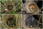 Title: One month at blackbird nest