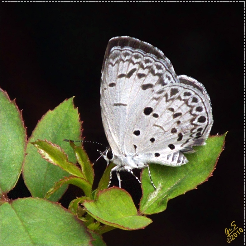 The Common Hedge Blue
