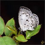 Title: The Common Hedge Blue