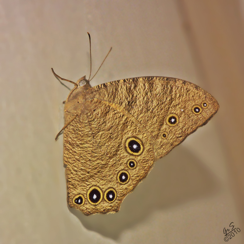 The Common Evening Brown