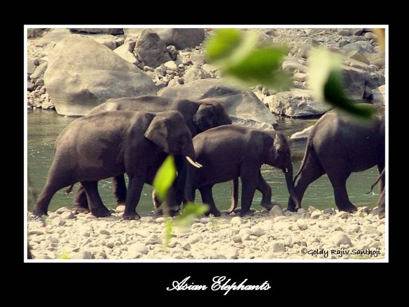 The Asian Elephant Series 6